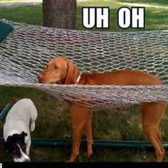 Its okay #boy...most of us #humans can't figure out how to get in a #hammock either!