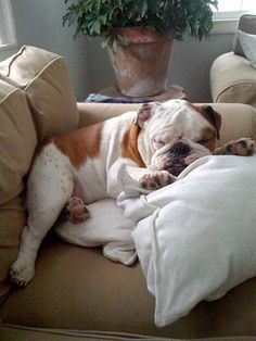 I will own an English Bulldog at some point.... so precious!!!