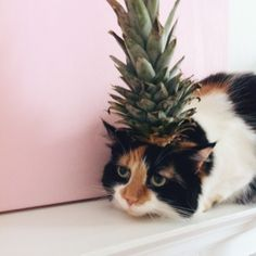Fancy pineapple cat. If searching these rare animals can be spotted in margaritaville, but beware they become very friendly is mixed with the rum catv or the tequila cat.
