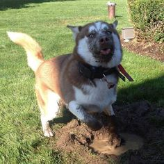 #Dogs Playing Around In The #Mud Will Put A Smile Of Your Face! http://ibeebz.com