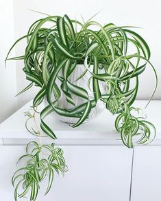 Reduce the toxins in your .Reduce the toxins in your home with these air-purifying houseplants. - the this this poisons your 10 Best Air Purifying House Plants That Clean the Air and Remove Potted Plants, Indoor Plants, Indoor Flowers, Hanging Plants, Chlorophytum, Home Air Purifier, Bug Hotel, Belle Plante, Low Light Plants