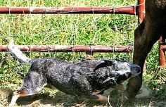 natural instinct - a Blue Heeler doing what he's bred to do.