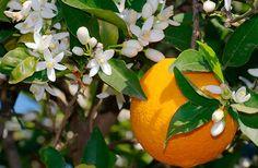 Картинки по запросу фото апельсиновое дерево