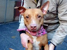 Still there over 500$ in pledges Manhattan Center My name is COCO. My Animal ID # is A1025493. I am a female red pit bull mix. The shelter thinks I am about 2 YEARS I came in the shelter as a STRAY on 01/14/2015 from NY 10459, owner surrender reason stated was STRAY. Main thread: https://www.facebook.com/photo.php?fbid=946491568697056