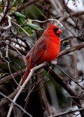 Best Tips to Attract Northern Cardinals to Your Yard