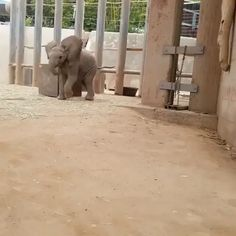 GIF Flirty baby elephant in the zoo Funny Animal Videos, Cute Funny Animals, Funny Animal Pictures, Animal Memes, Cute Baby Animals, Animals And Pets, Cute Pictures, Funny Elephant Videos, Baby Animal Videos