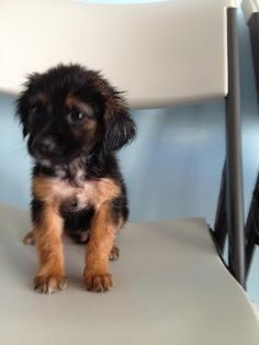 Female Baby Cavalier Mix is an adoptable Cavalier King Charles Spaniel, Terrier Dog in New York, NY This 3 months old, 8 lbs. pup is sweet and is very smart.  She is expected to weigh 15 lbs. whe ... ...Read more about me on @petfinder.com