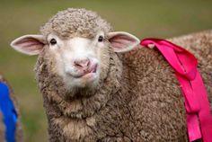 Alice - Sheep racing at Doran Vineyards, Voor-Paardeberg Rd, Paarl, South Africa Baa Baa Black Sheep, Counting Sheep, Goats, African, Racing, Alice, Lambs, Picnics, Animals