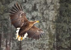 Photograph White-tailed Eagle by Robert Adamec on 500px X