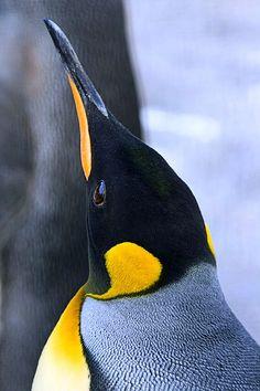 "(King Penguin)* * "" I stillz be wonderin' - if I iz a King Penguin, didz me crown slide off, frozen in de snow somewheres? King Penguin, Penguin Love, Cute Penguins, Penguin Baby, Beautiful Birds, Animals Beautiful, Baby Animals, Cute Animals, Photo Animaliere"