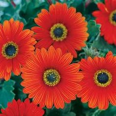 """Arctotis Pumpkin Pie PP14,732 ['Archnah'] is an evergreen perennial,. compact habit, 10-14"""" tall, velvety silver-gray foliage & bright pumpkin-orange flowers April through November, full sun. Very low water Hardy to 20-25 degrees F (Zone 9)."""