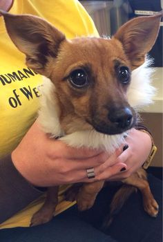 Layla  Chihuahua & Dachshund Mix • Young • Female • Small  Humane Society of West Texas Lubbock, TX