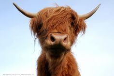 Scottish Highland Cattle=cutest animal ever. I want a herd some day. :D