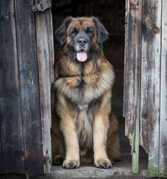 This week on Meet the Giants - the Leonberger! Head over to the blog to read all about this gorgeous gentle giant!