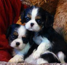 Cavalier King Charles puppies tricolor