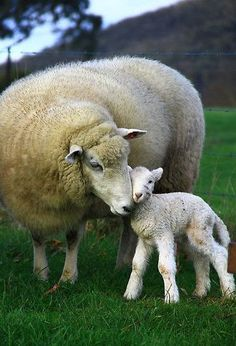 Momma Sheep and sweet lamb from The Reluctant Paladin