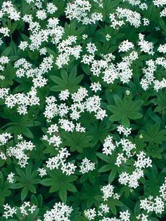 Lievevrouwebedstro: geurige plant, bloiet in april en mei (?), legende hierover heeft met jezus en Maria te maken, lees 't op Wikipedia. Leuk