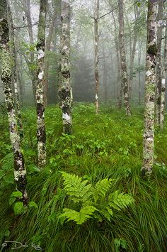 misty beech forest and fern Landscape Photography, Nature Photography, Mountain Photography, Beautiful World, Beautiful Places, Nature Plants, Walk In The Woods, Dark Forest, Nature Pictures