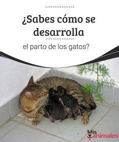 ¿Sabes cómo se desarrolla el parto de los gatos?  El parto es un momento hermoso y delicado en cualquier especie, te informamos sobre cómo se desarrolla el parto de los gatos.