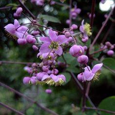 Keijuängelmä (Thalictrum rochebrunianum)