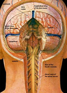 brain and spinal column anatomical illustration