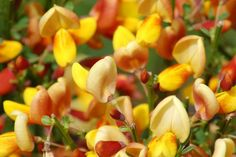 They May Be Invasive, but They're Not Necessarily Ugly: Picture: Scotch broom (<i>Cytisus scoparius</i>) is an aggressive spreader and has been classified as a noxious weed in some parts of the U.S.