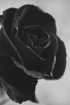 Black Rose. S)