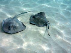 Ein Höhepunkt beim Landausflug auf Grand Cayman ist das Schwimmen mit Rochen.