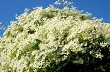 You'd Have to Be Nuts to Grow Any of These Plants: Sweet Autumn Clematis