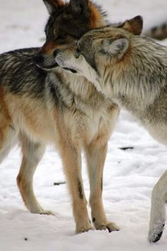 Mexican wolf pack