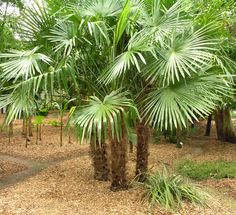 Looking for Sabal palms? Palm Tree Depot has a wide selection of sabal palms and palm trees that are suitable for any sized landscaping project. Outdoor Trees, Outdoor Gardens, Palm Trees For Sale, Indoor Palms, Tree Planters, Palm Garden, Jungle Gardens, Tropical Plants, Gardens