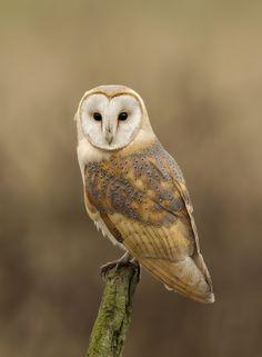Barn owl portrait by Ken Broadmore
