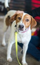 Sienna is an adoptable Hound Dog in Minneapolis, MN. Sienna is a sweet girl who loves to go on walks, play and snuggle up. She likes other dogs but she also really likes people attention so she would ...
