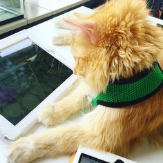 Sintra the cat loves playing game for cats on his iPad