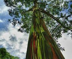 Copacul pictat de natură: Eucaliptul Curcubeu sau Eucalyptus Deglupta