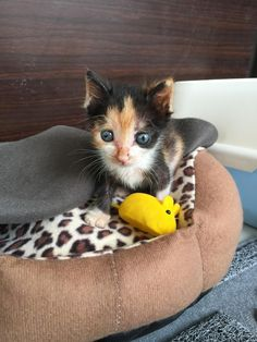 Tiny Kitten Rejected by Her Own Mom Finds Love in This Guy…