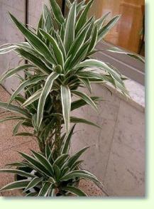Drachenbaum (Dracaena) Pflegeanleitung hier