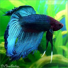 Male Betta, aka: Siamese Fighting Fish (0).....We inherited 'Gill' from previous homeowners, who got him from the owners before that.  When he finally passed, we got 1 that looked exactly like this one but with turquoise lips.  Name: Prince Jagger (RIP...Succumbed to Ick)