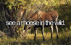 See a moose in the wild.