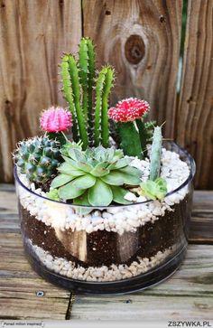 mini ogródek z kaktusami