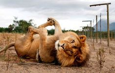 Lion feets