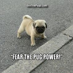 Since Join the Pugs bring the cuteness to Pug lovers all over the world. If you love Pugs. Funny Animal Jokes, Funny Animal Photos, Funny Dog Memes, Cute Funny Animals, Cute Baby Animals, Funny Dogs, Animal Memes, Stupid Animals, Animal Pics