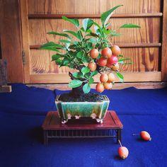 !!! #bonsai #apple #tokyo #japan #bonsaipots #tokoname #hidemipot #高尾駒木野庭園