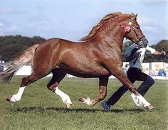 my very favorite breed - the powerhouse Welsh Cob