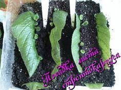 Размножение стрептокарпуса листом в домашних условиях часть 1-я - YouTube