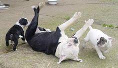 "Leavitt Olde English Bulldogge ""Castlebulls"" - Bulldogzucht Bulldogwelpen Bulldogzuechter"