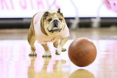 Puppy playing basketball..... #basketball #nuvet #petactivities