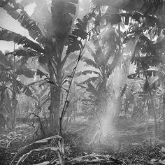Photograph Banana trees by Hengki Koentjoro on Semarang, Black And White Photography, Ethereal, Underwater, Photos, Trees, Banana, Gray, Painting