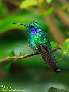 Green VioletearForums by Don  Hamilton Jr. - Photo 97726483 - 500px