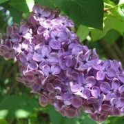 How to Grow Lilac Bushes from a Cut Flower   eHow